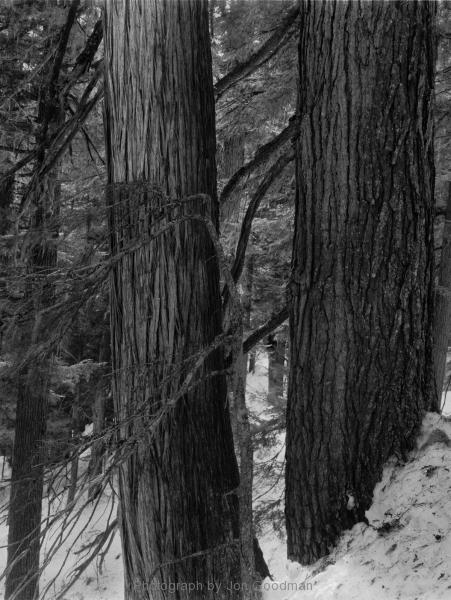 Rogers Pass Cedars