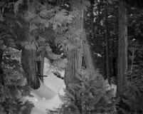 Cedar Trees & snow RP