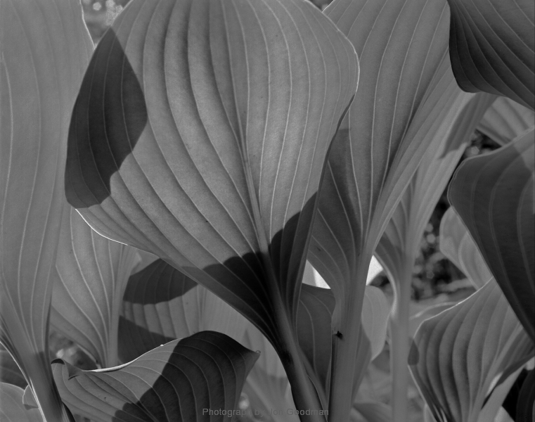 Garden Hosta 6_14 working layers 8_1_14 unsharp neg print