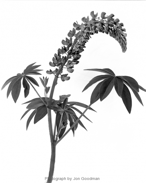 Lupine (2) (white background)