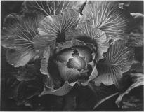 Hadley Cabbage