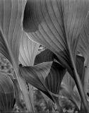 Hosta V 3 8_1_14 neg layers